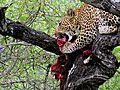 Leopard-parc kruger-2012.JPG