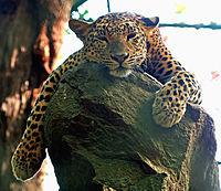 La sieste de Panthera pardus.