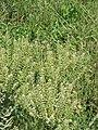 Lepidium campestre001.jpg