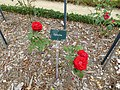"Les roses "" coluche "" au jardin du thabor - panoramio.jpg"