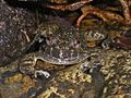 Lesser Spiny Frog (Quasipaa exilispinosa) 小棘蛙6.jpg
