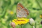 Lesser fiery copper (Lycaena thersamon) female underside Bulgaria.jpg