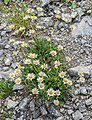 Leucanthemum vulgare in Taninges (1).jpg