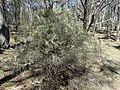 Leucopogon lanceolatus (habit) 01.jpg