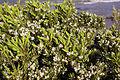 Leucopogon parviflorus 2.jpg