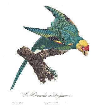 Carolina parakeet - Illustration by Jacques Barraband, 1801