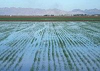 Basin flood irrigation of wheat