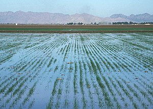 Basin flood irrigation of wheat