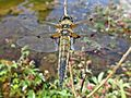 Libellula quadrimaculata (Four-spotted chaser) male, Nijmegen, the Netherlands - 2.jpg