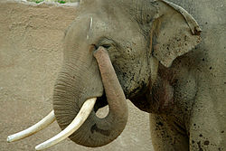 An elephant can use its trunk for a variety of purposes. This one is wiping its eye.