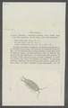 Ligia oceanica - - Print - Iconographia Zoologica - Special Collections University of Amsterdam - UBAINV0274 098 08 0003.tif