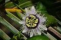 Lilikoʻi flower - panoramio (4).jpg