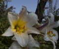 Liliumregale-20130705iv.png