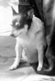 Liliuokalani's dog, 1917.png