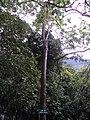 Lim xẹt - Peltophorum pterocarpum.JPG