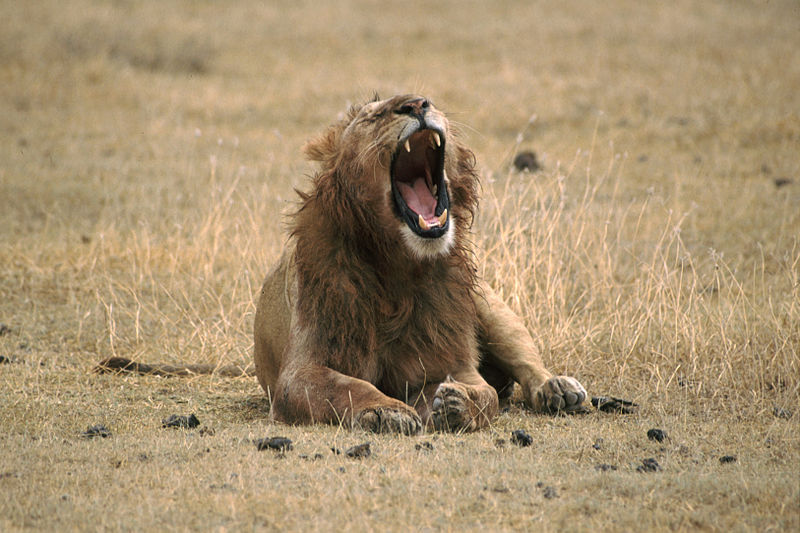 File:Lion Yawning.jpg