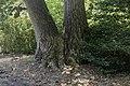 Liriodendron tulipifera double trunk NBG LR.jpg