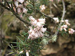 Lissanthe strigosa subsp. subulata