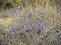 Lithodora fruticosa 2601.JPG