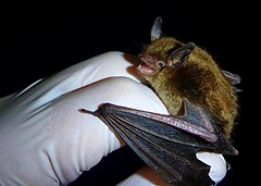 240px little brown myotis