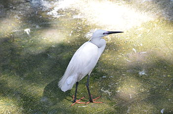 Little Egret at Giza Zoo by Hatem Moushir 6.JPG