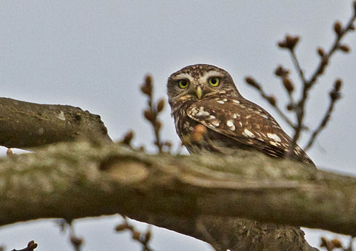 Little Owl Norfolk