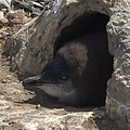 Little Penguin chick Burnie 20190112-001.jpg