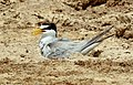 Little Tern.jpg