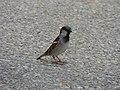 Little birds near the carousel - Place Carnot, Beaune - House sparrow (35086254470).jpg