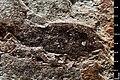 Lixus ligniticus holotype MNHN.F.A38843 indirect lighting.jpg