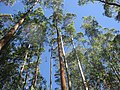Long Long Trees.jpg