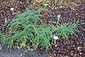 Lonicera ligustrina var. yunnanensis (Lonicera nitida) - Botanischer Garten, Dresden, Germany - DSC08938.JPG