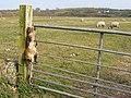 Looking across grazing field to Tyddyn-y-fawd north of Newborough - Niwbwrch - geograph.org.uk - 393118.jpg