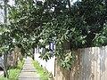 LoquatSidewalkFeb09MapleNOLA.jpg