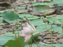 A Lotus Pond in Purameri