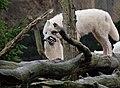 Loups arctiques DSCF0286.jpg
