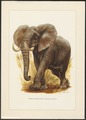 Loxodon africanus - 1967 - Print - Iconographia Zoologica - Special Collections University of Amsterdam - UBA01 IZ22000101.tif