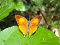 Loxura atymnus - Yamfly 29.JPG