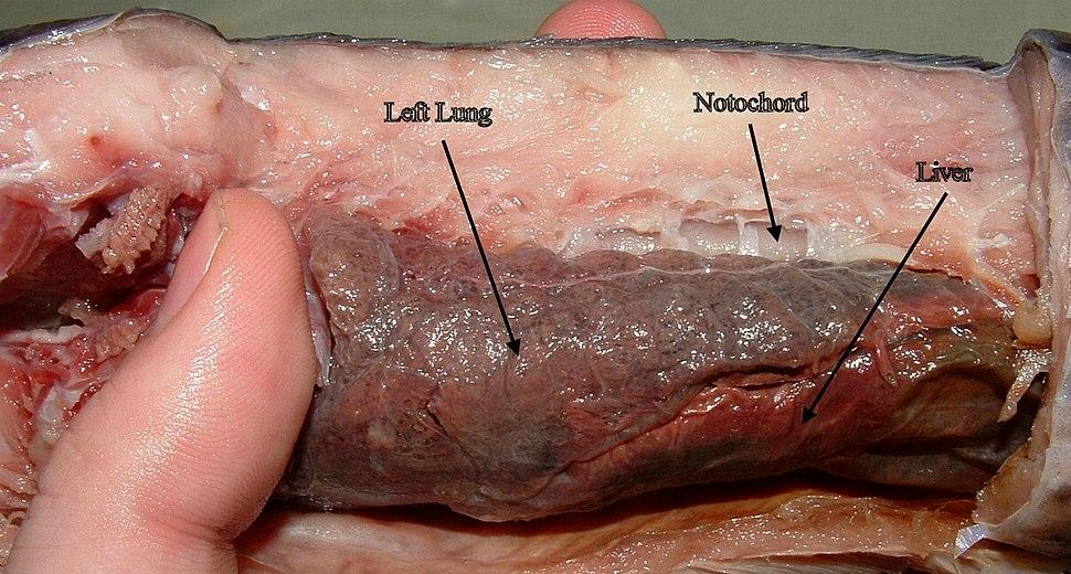 Lungs of Protopterus dolloi