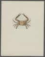 Lupea ponticus - - Print - Iconographia Zoologica - Special Collections University of Amsterdam - UBAINV0274 094 20 0012.tif