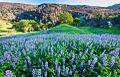 Lupines Berryessa Snow Mountain National Monument.jpg