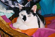Gato bicolor