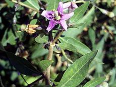 Lycium Barbarum Wikipedia