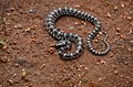 Lycodon travancoricus (Travancore Wolf Snake).jpg