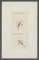 Lygaeus - Print - Iconographia Zoologica - Special Collections University of Amsterdam - UBAINV0274 040 06 0002.tif