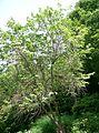Lyonia ovalifolia4.jpg