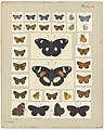 MA I437604 TePapa Plate-V-The-butterflies full.jpg
