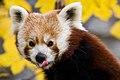 MC Kleiner Panda.jpg