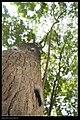 Macrobrochis gigas (caterpillar) (14319685554).jpg