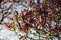 Magnolia sp. (39835609900).jpg